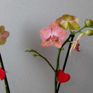 Ravello orchidee